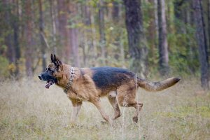 Portrait of german shepherd dog running in autumn park