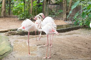 Flamingos are looking for food.