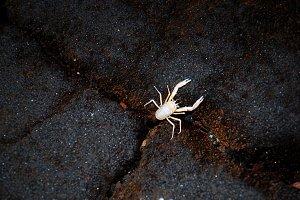 white crab