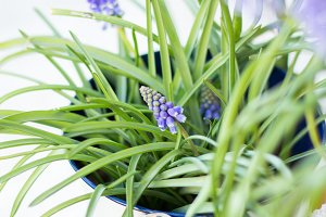 Muscari on pot