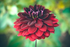 Burgundy Dahlia Flower