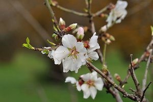 Almond Flowers Nature