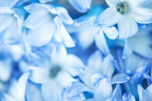 Blue spring flowers, macro, vertical