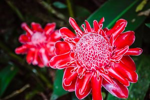 Close up of Red Torch Ginger Flowers on Bohol, Philippines