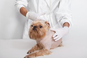 Veterinarian inspects a little dog