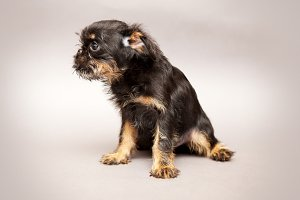 Puppy of breed Bruxellois Griffon
