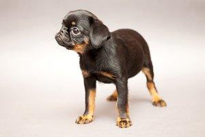 Puppy  Griffon Brabanson