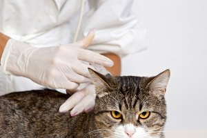 Veterinarian inspects a cat