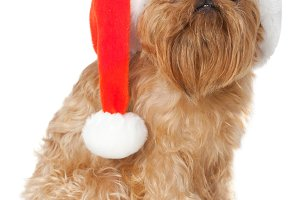 Dog with a Christmas hat