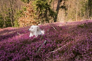 Dog resting in spring flowers