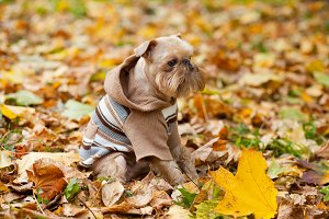 Brussels griffon and autumn.