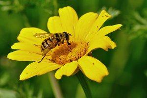 Honeybee Yellow Flower