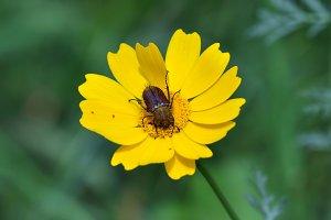 Beetle Yellow Flower