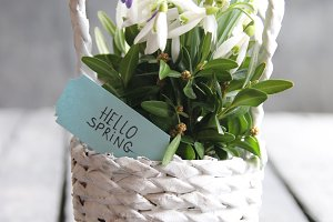 hello spring label and snowdrops in a wicker basket