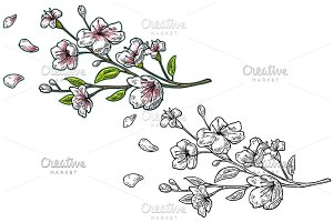 Sakura blossom. Cherry branch with flowers and bud. Petals falling.