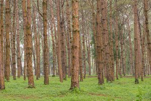 trunks of trees in a pine forest.