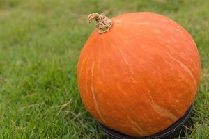 pumpkin in the cultivation farm.