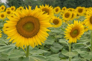 Sunflower blooming in garden.