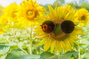 sunglasses of Sunflower blooming