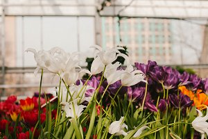 White flowers in greenhouses