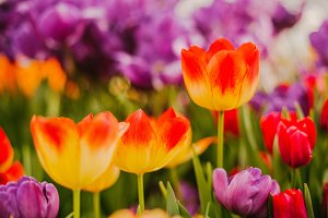 Yellow tulips with red