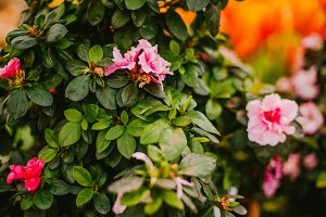 Green shrub with pink flowers
