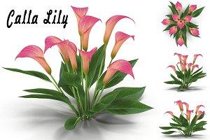 Calla Lily Pink