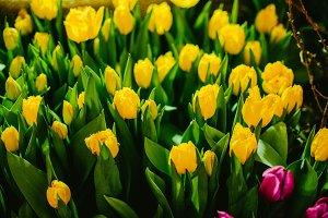 Yellow tulips closeup