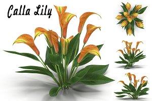 Calla Lily orange