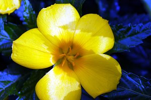 yellow flower with blue leaves