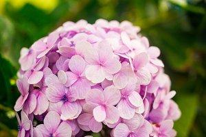 Hydrangea flowers in Dalat Flower Park, Vietnam