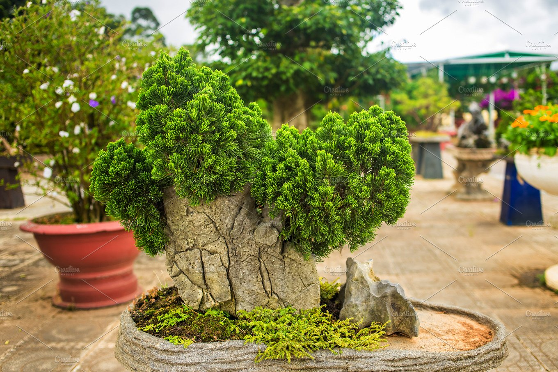 Fir Bonsai In Dalat Flower Park Vietnam High Quality Nature Stock Photos Creative Market