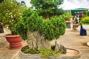 Fir bonsai in Dalat Flower Park, Vietnam