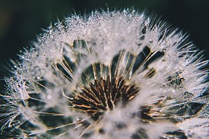 Dandelion Dew Macro