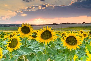 Field of sunflowers on a sunset