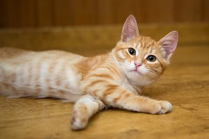 Small orange kitten