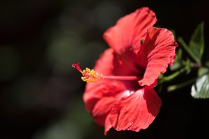 close up view of red flower