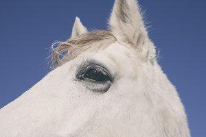 horse white