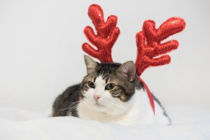 Funny christmas rudolph reindeer cat