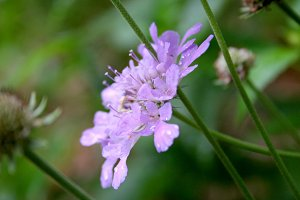 Purple Scabiosa Flower