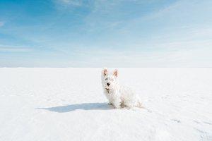 Westie on vast frozen lake