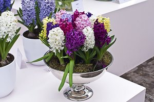 Multi-colored hyacinths in a vase