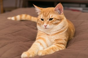 Orange cat on the bed