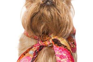 Dog Brussels Griffon