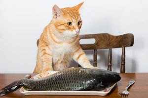 Domestic cat and big fish
