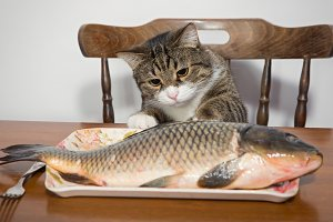 Domestic cat and big fish