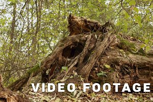 Big broken root of tree. Autumn daytime. Smooth dolly shot
