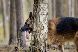 Dog - big german shepherd - pet in the autumn forest