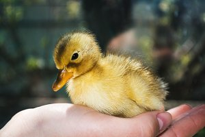 Little yellow duckling on human hands.