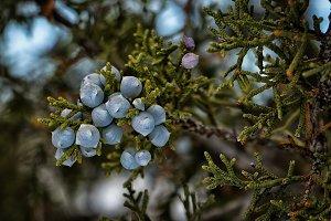 Utah Juniper berries